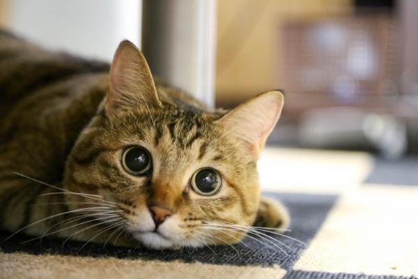 猫の雑種の寿命はどのくらい?純血種より長いってホント?