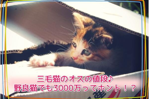 三毛猫のオスの値段♪野良猫でも3000万ってホント!?5