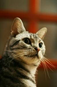 猫,食べ物,欲しがる